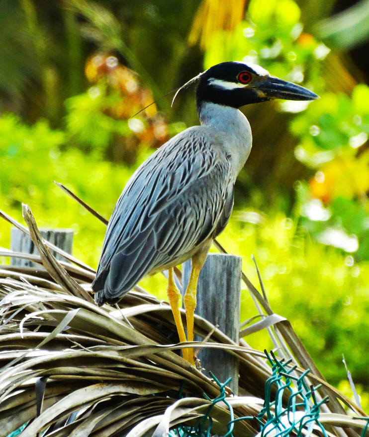 yellow-crowned-night-heron-on-shoal-bay-east-beach-anguilla-bwi_t20_QQPOl6